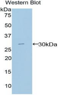 MPEG1 Antibody - Western blot of recombinant MPEG1.  This image was taken for the unconjugated form of this product. Other forms have not been tested.