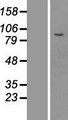 MPHOSPH8 Protein - Western validation with an anti-DDK antibody * L: Control HEK293 lysate R: Over-expression lysate