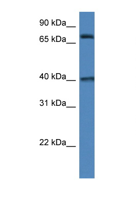 MPO / Myeloperoxidase antibody Western blot of 293T Cell lysate. Antibody concentration 1 ug/ml.  This image was taken for the unconjugated form of this product. Other forms have not been tested.