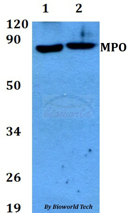 Western blot of MPO antibody at 1:500 dilution. Lane 1: A549 whole cell lysate. Lane 2: PC12 whole cell lysate.