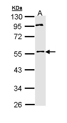 Sample (30 ug of whole cell lysate). A: Hep G2 . 10% SDS PAGE. MPP1 antibody diluted at 1:1000.