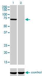 Western blot analysis of MPP3 over-expressed 293 cell line, cotransfected with MPP3 Validated Chimera RNAi (Lane 2) or non-transfected control (Lane 1). Blot probed with MPP3 monoclonal antibody (M01), clone 4D7 . GAPDH ( 36.1 kDa ) used as specificity and loading control.