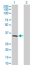 Western Blot analysis of MPPED2 expression in transfected 293T cell line by C11orf8 monoclonal antibody (M01A), clone 2G1-1B7.Lane 1: MPPED2 transfected lysate(33.81 KDa).Lane 2: Non-transfected lysate.