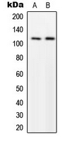 MPRIP / RIP3 Antibody - Western blot analysis of p116 Rip expression in U251MG (A); NIH3T3 (B) whole cell lysates.