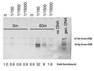 Anti-Mre11 (S. cerevisiae) Antibody - Chromatin Immunoprecipitation (ChIP). Chromatin Immunoprecipitation (ChIP) using Affinity Purified Mre11 (S. cerevisiae) antibody. A yeast strain containing the HO endonuclease gene controlled by a galactose-inducible promoter (uninduced 0 m lanes) was shifted into galactose containing medium (induced 60 m lanes). After 1 hour of induction cells were cross-linked with formaldehyde followed by preparation of sheared chromatin. Chromatin was immunoprecipitated with the antibody at the stated dilutions. immune complexes were captured using polyacrylamide bead linked secondary antibodies. The resultant immunoprecipitate was probed by multiplex PCR, using primers 20 bp from the MAT locus double strand break (lower arrow) and 67 kb from the break (upper band, control locus). PCR products were displayed on a polyacrylamide gel, stained with SyBR Green (Invitrogen), and detected using a Fuji scanning fluorimeter. Personal Communication. Michael Lichten, NIH, CCR, Bethesda, MD.