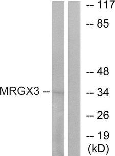 MRGPRX3 / MRGX3 Antibody - Western blot analysis of lysates from K562 cells, using MRGX3 Antibody. The lane on the right is blocked with the synthesized peptide.