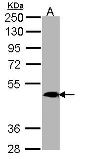 Sample (30 ug of whole cell lysate). A: H1299. 10% SDS PAGE. MRGPRX4 / MRGX4 antibody diluted at 1:1000.