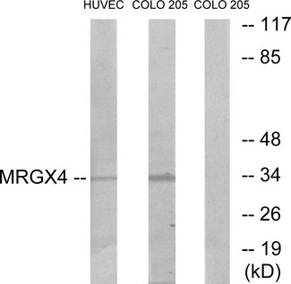 Western blot analysis of lysates from HUVEC and COLO cells, using MRGX4 Antibody. The lane on the right is blocked with the synthesized peptide.
