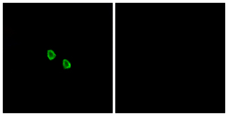 Immunofluorescence analysis of HepG2 cells, using MRGX1 Antibody. The picture on the right is blocked with the synthesized peptide.
