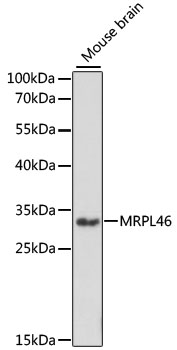 MRPL46 Antibody - Western blot analysis of extracts of mouse brain, using MRPL46 antibody at 1:1000 dilution. The secondary antibody used was an HRP Goat Anti-Rabbit IgG (H+L) at 1:10000 dilution. Lysates were loaded 25ug per lane and 3% nonfat dry milk in TBST was used for blocking. An ECL Kit was used for detection and the exposure time was 90s.