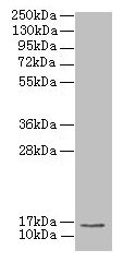 MRPL51 Antibody - Western blot All lanes: MRPL51 antibody at 2.5µg/ml + K562 whole cell lysate Secondary Goat polyclonal to rabbit IgG at 1/10000 dilution Predicted band size: 15 kDa Observed band size: 15 kDa