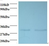 Western blot of 39S ribosomal protein L9, mitochondrial antibody at 2 ug/ml. Lane 1: EC109 whole cell lysate. Lane 2: 293T whole cell lysate. Secondary: Goat polyclonal to Rabbit IgG at 1:15000 dilution. Predicted band size: 29.6 kDa. Observed band size: 29.6 kDa.  This image was taken for the unconjugated form of this product. Other forms have not been tested.