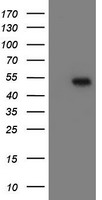 MRPS27 Antibody - HEK293T cells were transfected with the pCMV6-ENTRY control (Left lane) or pCMV6-ENTRY MRPS27 (Right lane) cDNA for 48 hrs and lysed. Equivalent amounts of cell lysates (5 ug per lane) were separated by SDS-PAGE and immunoblotted with anti-MRPS27.