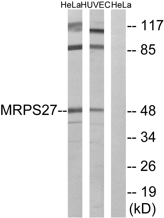 Western blot analysis of lysates from HeLa and HUVEC cells, using MRPS27 Antibody. The lane on the right is blocked with the synthesized peptide.