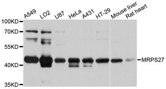 Western blot analysis of extracts of various cell lines, using MRPS27 antibody at 1:3000 dilution. The secondary antibody used was an HRP Goat Anti-Rabbit IgG (H+L) at 1:10000 dilution. Lysates were loaded 25ug per lane and 3% nonfat dry milk in TBST was used for blocking. An ECL Kit was used for detection and the exposure time was 3s.