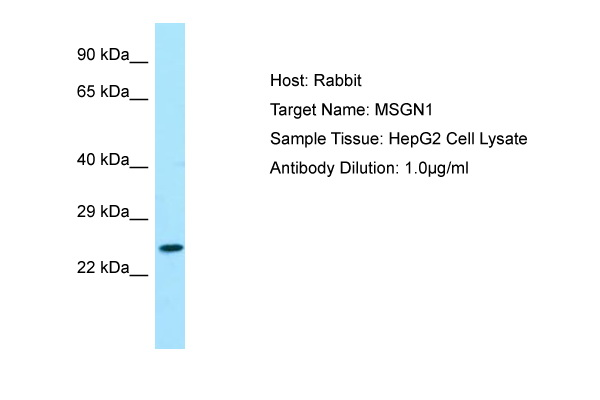 MSGN1 Antibody -  This image was taken for the unconjugated form of this product. Other forms have not been tested.