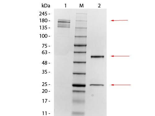 MSLN / Mesothelin Antibody - SDS-PAGE of Mouse anti-Mesothelin Monoclonal Antibody. Lane 1: Non-Reduced Mouse anti-Mesothelin Monoclonal Antibody. Lane 2: 3 µL OPAL Pre-stained Marker Lane 3: Reduced Mouse anti-Mesothelin Monoclonal Antibody. Load: 1 µg per lane. Predicted/Observed size: Non-reduced at 160 kDa; Reduced at 55, 25 kDa.