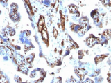 IHC testing of FFPE human placenta with Moesin antibody (clone MSN/491). Required HIER: boil tissue sections in 10mM citrate buffer, pH 6, for 10-20 min.