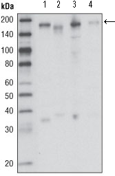 MST1R / RON Antibody - Western blot using RON mouse monoclonal antibody against HCC827 (1), HT-29 (2), HCT-116 (3) and BxPC-3 (4) cell lysate.