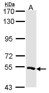 Sample (30 ug of whole cell lysate). A: H1299. 7.5% SDS PAGE. MSTO1 antibody. MSTO1 / MST antibody diluted at 1:1000.