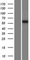 MSTO1 / MST Protein - Western validation with an anti-DDK antibody * L: Control HEK293 lysate R: Over-expression lysate
