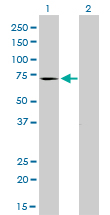 Western blot of MTM1 expression in transfected 293T cell line by MTM1 monoclonal antibody (M01), clone 1C10.