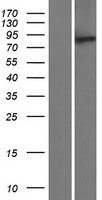 MTMR10 Protein - Western validation with an anti-DDK antibody * L: Control HEK293 lysate R: Over-expression lysate