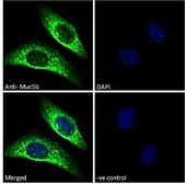 MUC5B Antibody - Goat Anti-Muc5b (mouse) Antibody Immunofluorescence analysis of paraformaldehyde fixed NIH3T3 cells, permeabilized with 0.15% Triton. Primary incubation 1hr (10ug/ml) followed by Alexa Fluor 488 secondary antibody (2ug/ml), showing vesicle staining. The nuclear stain is DAPI (blue). Negative control: Unimmunized goat IgG (10ug/ml) followed by Alexa Fluor 488 secondary antibody (2ug/ml).