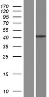 MURF1 / IRF Protein - Western validation with an anti-DDK antibody * L: Control HEK293 lysate R: Over-expression lysate