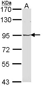 Sample (30 ug of whole cell lysate). A: Molt-4 . 7.5% SDS PAGE. MVP antibody diluted at 1:1000.