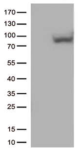 MX1 / MX Antibody - HEK293T cells were transfected with the pCMV6-ENTRY control. (Left lane) or pCMV6-ENTRY MX1. (Right lane) cDNA for 48 hrs and lysed