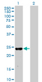 Western Blot analysis of MXI1 expression in transfected 293T cell line by MXI1 monoclonal antibody (M08), clone 1F3.Lane 1: MXI1 transfected lysate(26.1 KDa).Lane 2: Non-transfected lysate.