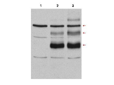 MYB / c-Myb Antibody - Western Blot of rabbit anti-C-Myb antibody. Lane 1: Cos7 cell lysates vector. Lane 2: Cos7 cell lysates transfected with c-myb, no treatment. Lane 3: Cos7 cell lysates transfected with c-Myb and heat stress-treated (incubation at 42°C for 30 minutes) to induce c-Myb modification. Load: 35 µg per lane. Primary antibody: cMyb antibody at 1:500 for overnight at 4°C. Secondary antibody: rabbit secondary antibody at 1:10,000 for 45 min at RT. Block: 10% BLOTTO overnight at 4°C. Predicted/Observed size: Lane 3 shows detection of bands at 75, 98, and 125kDa corresponding to overexpressed c-Myb (arrows): wild-type, with one attached SUMO molecule, and with two attached SUMO molecules, respectively.