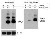 Western blot of Rabbit c-Myb pT486 antibody. Lane 1: Cos7 cells were either null for c-Myb. Lane 2: Cos7 cell lysates transfected with c-myb, no treatment. Lane 3: Cos7 cell lysates transfected with c-Myb and treated with okadaic acid to include phosphorylation of c-Myb. Load: 35 ug per lane. Primary antibody: The left blot was probed with anti-c-Myb antibody, the right blot was probed with anti-c-Myb pT486 antibody at 1:2500 for overnight at 4C. Secondary antibody: IRDye800 rabbit secondary antibody at 1:10000 for 45 min at RT. Block: PBS-Tween (0.05%) overnight at 4C. Predicted/Observed size: 75, 98, and 125kDa corresponding to overexpressed c-Myb (arrow): wild-type, with one attached SUMO molecule, and with two attached SUMO molecules, respectively.