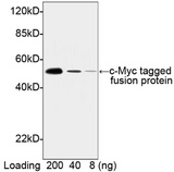 Myc Tag Antibody - Western blot of c-Myc -tagged fusion protein using c-Myc-tag Antibody [HRP], pAb, Rabbit (c-Myc-tag Antibody [HRP], pAb, Rabbit, 0.2 ug/ml ) The signal was developed with LumiSensor HRP Substrate Kit. Predicted Size: 52 kD Observed Size: 52 kD This image was taken for the unconjugated form of this product. Other forms have not been tested.