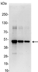 Detection of c-myc-tagged protein in 200, 100, and 50ng of E. coli lysate containing tagged fusion protein