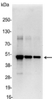 Myc Tag Antibody - Detection of c-myc-tagged protein in 200, 100, and 50ng of E. coli lysate containing tagged fusion protein