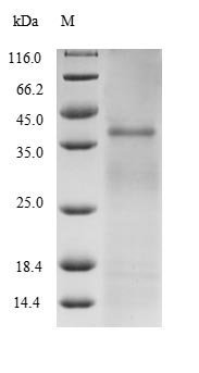 Ag85B Protein - (Tris-Glycine gel) Discontinuous SDS-PAGE (reduced) with 5% enrichment gel and 15% separation gel.