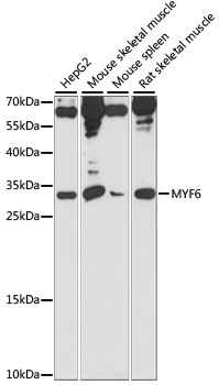 MYF6 / MRF4 Antibody - Western blot analysis of extracts of various cell lines, using MYF6 antibody at 1:1000 dilution. The secondary antibody used was an HRP Goat Anti-Rabbit IgG (H+L) at 1:10000 dilution. Lysates were loaded 25ug per lane and 3% nonfat dry milk in TBST was used for blocking. An ECL Kit was used for detection and the exposure time was 5s.
