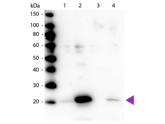 MYL12A / MRCL3 Antibody - Western blot of rabbit Anti-Myosin pS19/pS20 primary antibody. Lane 1: Regulatory Light Chain Non-Phospho recombinant protein. Lane 2: Regulatory Light Chain Phospho recombinant protein. Lane 3: Smooth Muscle Non-Phospho recombinant protein. Lane 4: Smooth Muscle Phospho recombinant protein. Load: 50 ng per lane. Primary antibody: Myosin pS19/pS20 primary antibody at 1:1,000 overnight at 4°C. Secondary antibody: Peroxidase rabbit secondary antibody at 1:40,000 for 60 min at RT. Blocking: MB-070 for 30 min at RT. Predicted/Observed size: 20 kDa, 20 kDa for Regulatory Light Chain Phospho. Other band(s): None.