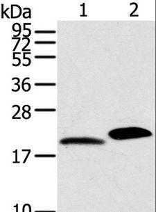 MYL2 Antibody - Western blot analysis of Mouse skin and heart tissue, using MYL2 Polyclonal Antibody at dilution of 1:800.