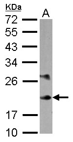 Sample (30 ug of whole cell lysate) A: K562 12% SDS PAGE MYL6B antibody diluted at 1:10000
