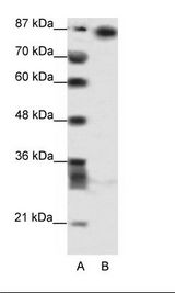 MYNN Antibody - A: Marker, B: HepG2 Cell Lysate.  This image was taken for the unconjugated form of this product. Other forms have not been tested.
