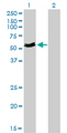 Western blot of MYOC expression in transfected 293T cell line by MYOC monoclonal antibody clone 4F8.