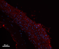 Myosin Heavy Chain Antibody - Rat carotid artery frozen sections were stained with Poly6212, followed by anti-rabbit Alexa Fluor 594 and DAPI staining.