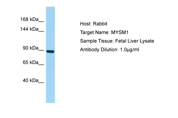 MYSM1 Antibody -  This image was taken for the unconjugated form of this product. Other forms have not been tested.