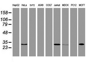NABP2 Antibody - Western blot of extracts (35 ug) from 9 different cell lines by using anti-OBFC2B monoclonal antibody.