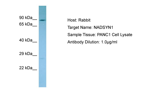 NADSYN1 / NAD Synthetase Antibody -  This image was taken for the unconjugated form of this product. Other forms have not been tested.