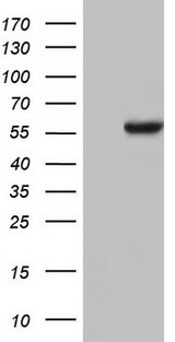 NAE1 / APPBP1 Antibody - HEK293T cells were transfected with the pCMV6-ENTRY control. (Left lane) or pCMV6-ENTRY NAE1. (Right lane) cDNA for 48 hrs and lysed. Equivalent amounts of cell lysates. (5 ug per lane) were separated by SDS-PAGE and immunoblotted with anti-NAE1.