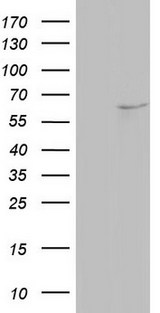 NAE1 / APPBP1 Antibody - HEK293T cells were transfected with the pCMV6-ENTRY control (Left lane) or pCMV6-ENTRY NAE1 (Right lane) cDNA for 48 hrs and lysed. Equivalent amounts of cell lysates (5 ug per lane) were separated by SDS-PAGE and immunoblotted with anti-NAE1.